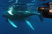 Silver Banks Dominican Republic Humpback Whale Snorkeling Trip | Scuba Center